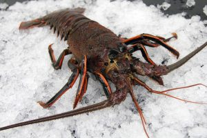 California Spiny Lobster, Whole, Live